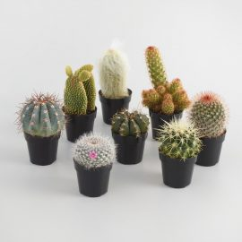 Small Assorted Live Potted Cacti Set of 3: Metallic by World Market